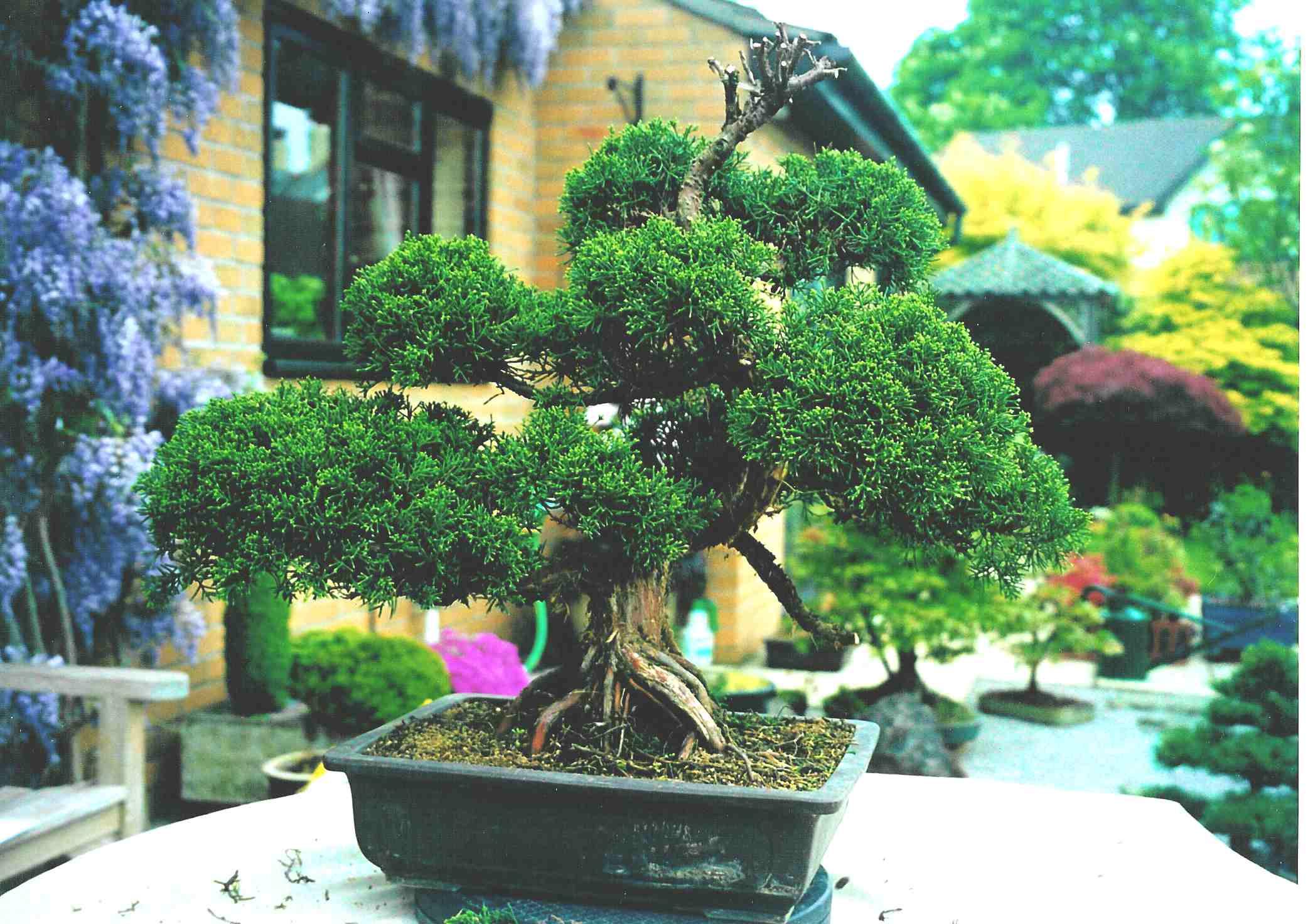 Sargentii juniper