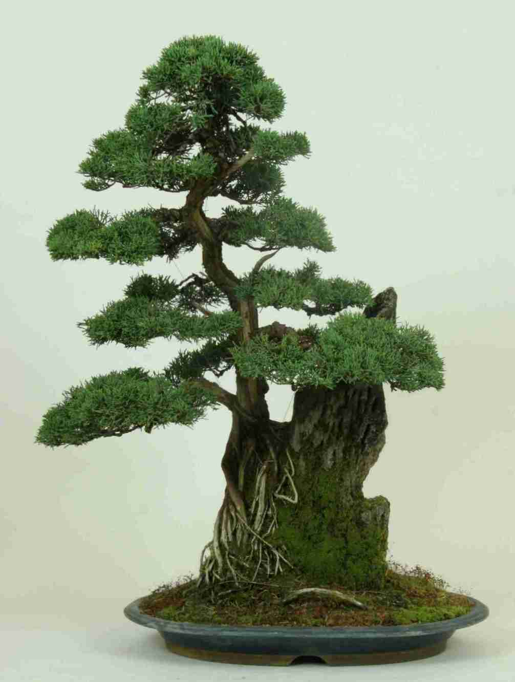 Juniper Bonsai Species Guide From Lv Wiring Time