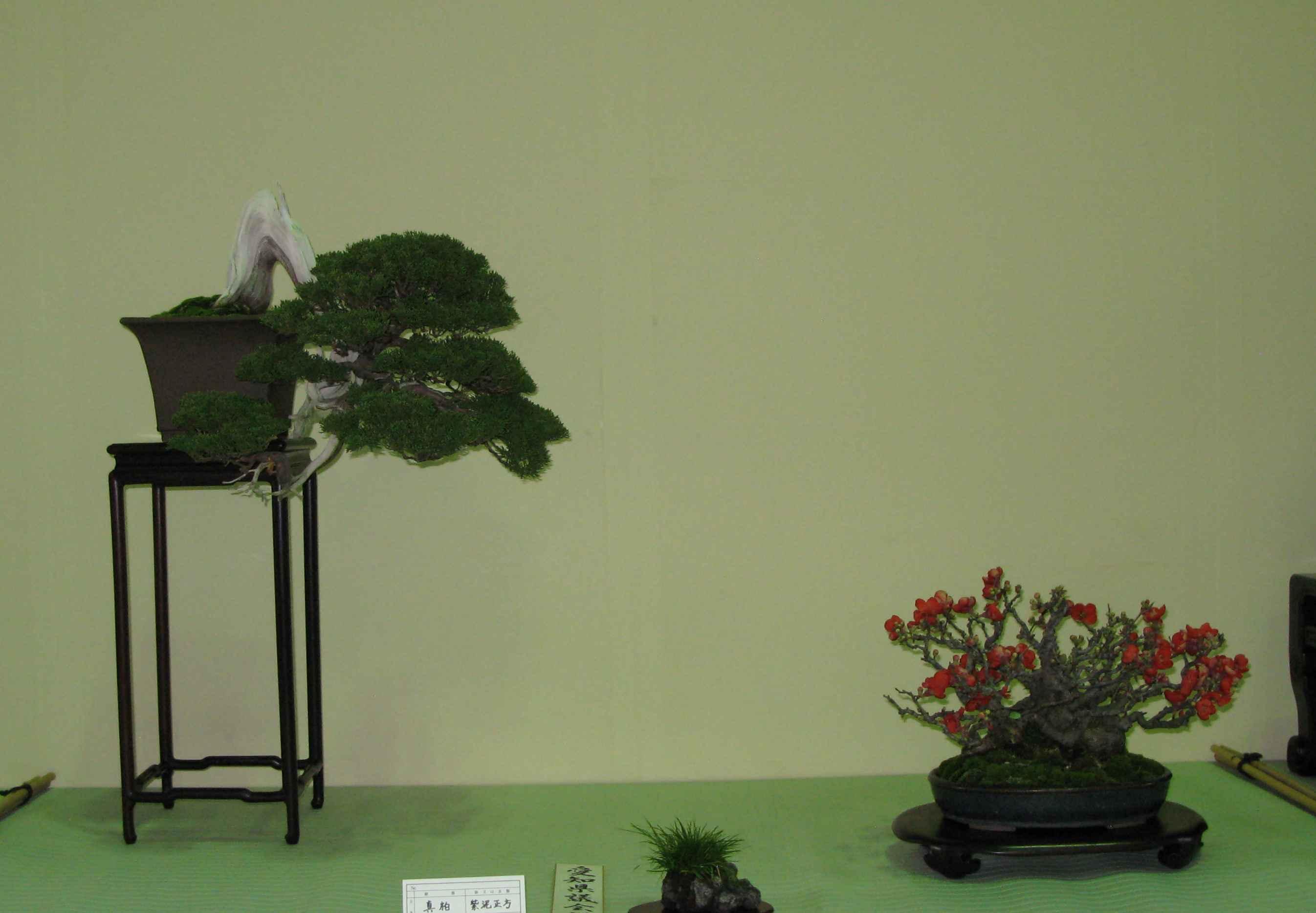 Maple Bonsai Species Guide from LV Bonsai