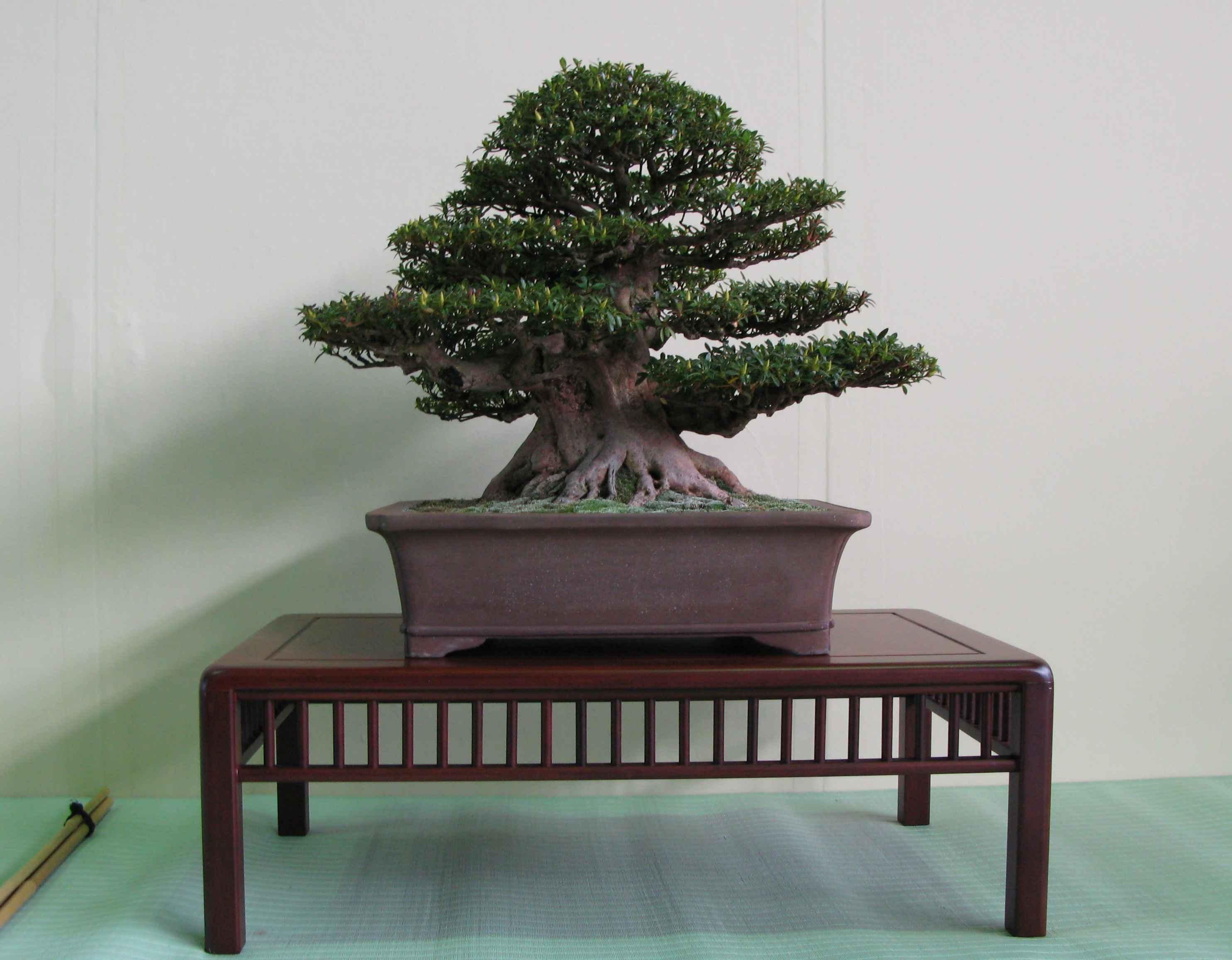 Super Bonsai White Pines Species Guide From Lv Bonsai Wiring Cloud Pendufoxcilixyz