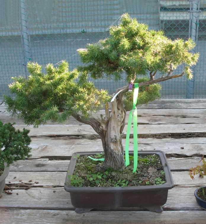Awesome Bonsai Yew Species Guide From Lv Bonsai Wiring Digital Resources Honesemecshebarightsorg