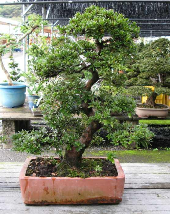 Astounding Bonsai Yew Species Guide From Lv Bonsai Wiring 101 Capemaxxcnl